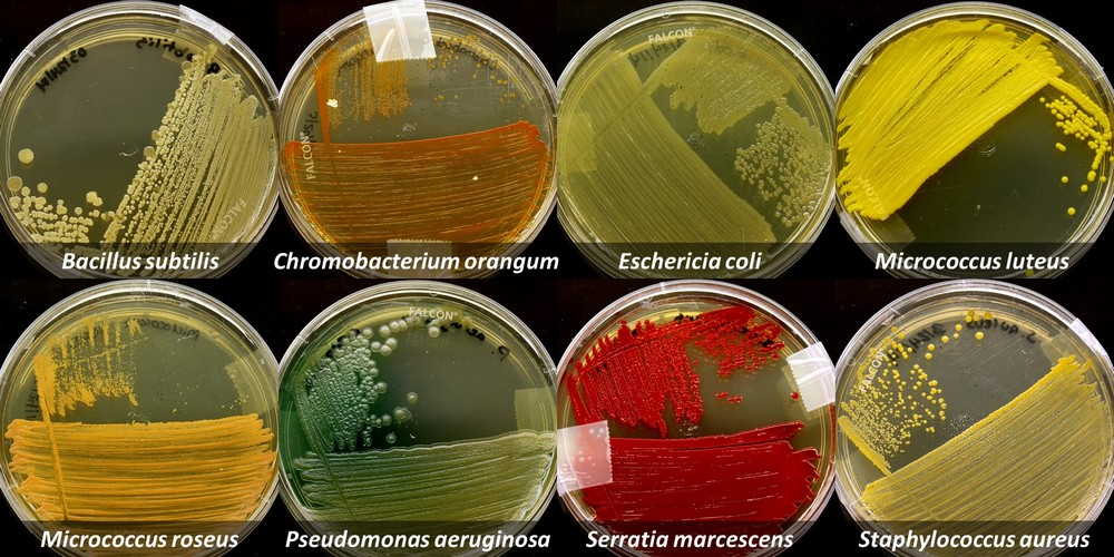 isolation and observation of bacteria Microorganisms in order to observe colony morphology, 2) for pure culture  3)  often in the enumeration and isolation of bacteria from a mixed population by.