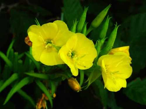 Common plants of wisconsin evening primrose flowers open at twilight sundrops same genus open at mid day common on road edges and dry waste places mightylinksfo